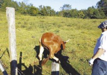 Vacas murieron por rabia paresiante en San Pedro