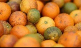 Por ley, la cadena citr�cola es declarada en emergencia econ�mica, productiva, financiera y social