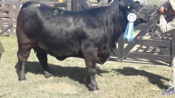 Delincuentes carnearon una vaca campeona valuada en $500.000