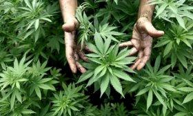 La Justicia orden� garantizar la cobertura de un tratamiento con cannabis medicinal