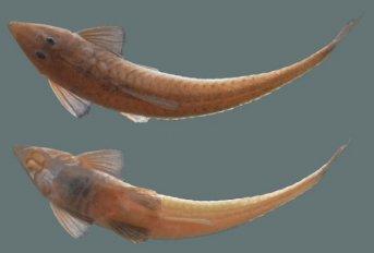 Registran por primera vez en el río Paraná y en Corrientes una especie de