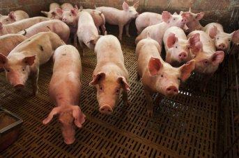 La Bolsa de Comercio de Rosario lanza una plataforma de negociación de ganado porcino
