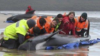 Rescatan a algunas de las 270 ballenas varadas en Tasmania