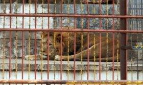 Sud�frica busca prohibir la cr�a de leones para la caza