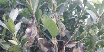 Detectan hongo que afecta a la yerba mate